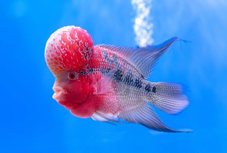 Flowerhorn Cichlid Colorful fish swimming in aquarium. This is an ornamental fish that symbolizes the luck of feng shui in the house