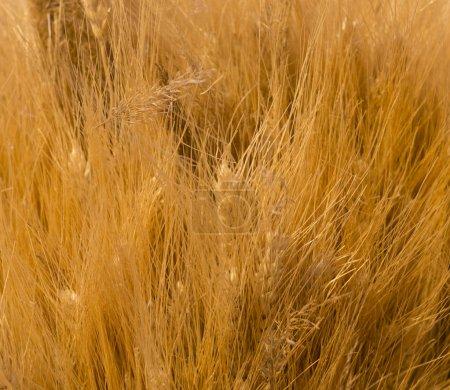 spica sec fond floral gros plan. champ, récolte d'automne toile de fond