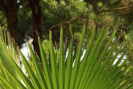 Photo pour Palmier à feuilles. Contexte naturel . - image libre de droit