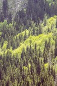 Coniferous forest, Little Fatra, Slovakia