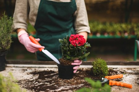 Close up woman hands in pink gloves using little garden shovel while planting a beautiful flower in pot in greenhouse
