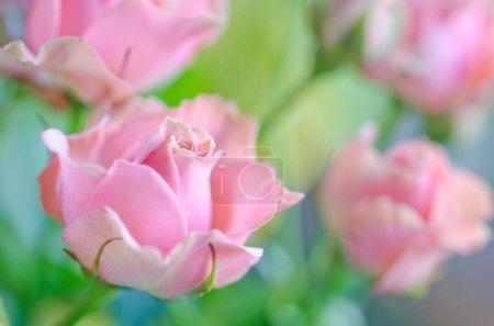 Foto de Hermosas rosas rosadas de enfoque suave como fondo de rosa floral borrosa (DOF muy poco profundo, enfoque selectivo ) - Imagen libre de derechos