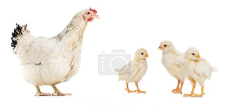 Photo for Three chickens and hen isolated on white - Royalty Free Image