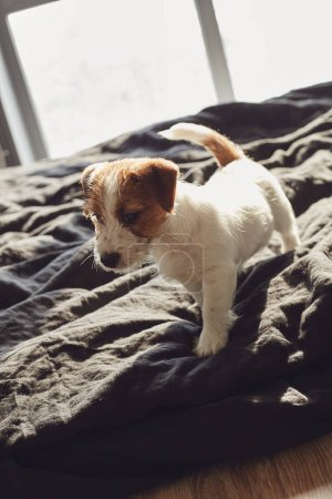 Photo for Adorable Jack Russell Terrier puppy sitting on a bed at home - Royalty Free Image