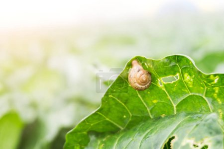 Selective focus on snail eating green cabbage leaf with hole and blurred fresh cabbage in harvest field background with fog and morning sun light. Organic and freshness vegetable background.