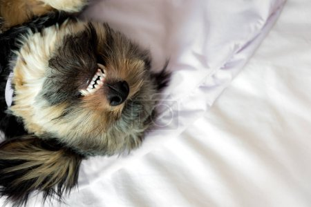 Funny cute Shih tzu mix puppy dog lying and smile on bed.