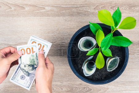One hundred US dollar bills and money tree growth up in black flower pot placed on wooden table with hand counting money in concept of financial planning, saving money, interest and investment.
