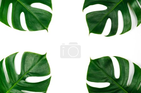 Photo for Monstera green leaf isolated on white background in flat lay style and top view. Nature frame background. Palm leaf, Real tropical jungle foliage Swiss cheese plant. - Royalty Free Image