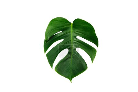 Photo for Monstera green leaf isolated on white background with clipping path for summer and spring design element. Palm leaf, Tropical jungle foliage Swiss cheese plant. Flat lay and top view. Nature object. - Royalty Free Image