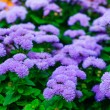 Bright blue flowers of Ageratum houstonianum (flossflower) on a blurred leafy background