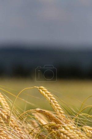 en un día muy soleado en junio en el sur de Alemania se ve el maíz hierba y las plantas en color verde oliva antes de los árboles y el bosque en un paisaje en el campo
