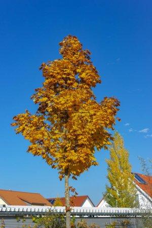 Foto de Solo árbol en el otoño hojas de naranja sobre el azul del cielo caen tarde en Baviera Alemania del sur - Imagen libre de derechos