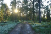 beautiful pine forest. taiga, virgin forest, summer landscape background