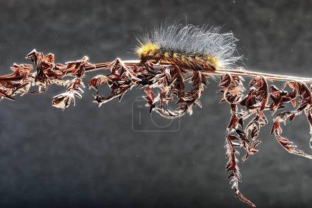 fluffy caterpillar / macro insect, larva, beautiful macro enlarged caterpillar