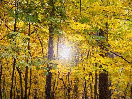 Photo pour Lever du soleil dans la forêt d'automne. Feuillage lumineux dans parc automne ensoleillé - image libre de droit