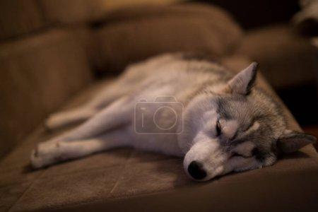 Photo pour Mignon petit chien Husky dormir sur le canapé dans la soirée - image libre de droit