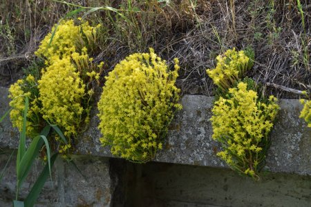 yellow Stonecrop on a Wall