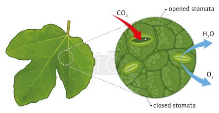 Vector illustration of schematic view of leaf stom...