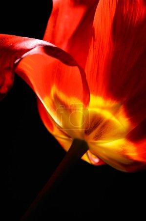 fresh red tulip closeup