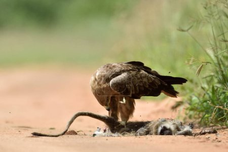 Tawny eagle (Aquila rapax) in natural park, Africa