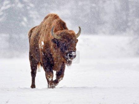 Photo pour Bison d'Europe (Bison bonasus) dans leur habitat naturel en hiver - image libre de droit