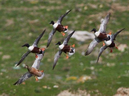 Wildenten in natürlichem Lebensraum