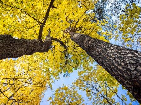 Photo pour Des feuilles d'érable jaune vif sur les arbres du parc automnal. Vue de bas en haut de la cime des arbres - image libre de droit