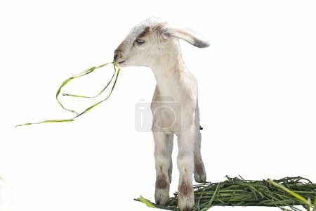 Lamb on white background, farm, animal...