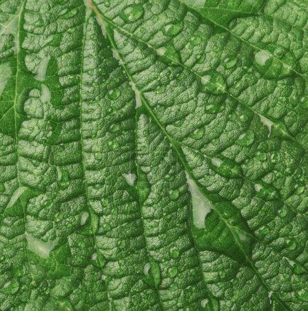 Photo pour Vue macro rapprochée de la texture des feuilles de framboise avec des gouttes d'eau - image libre de droit