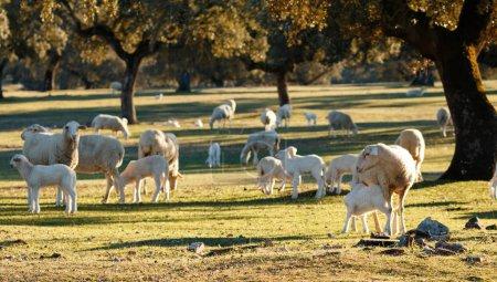lindos corderos y ovejas pastando en prado verde