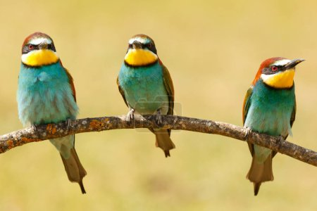 three of bee-eaters on branch with blurred background