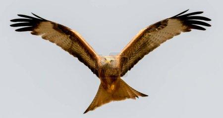 amazing bird of prey in flight, blue sky of background