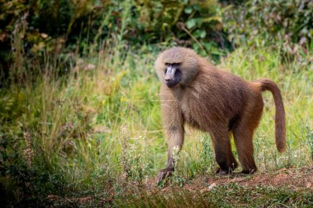 Photo for Adult monkey in the nature with a angry expression - Royalty Free Image