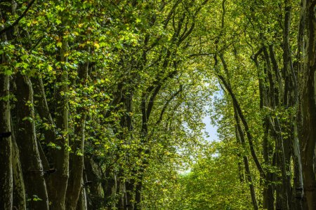 Alley with green trees in the forest
