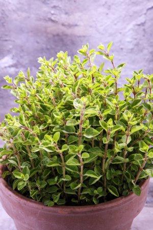 Photo pour Herbe maison et aromatique dans un vieux pot d'argile. Ensemble d'herbes culinaires. origan vert en croissance . - image libre de droit