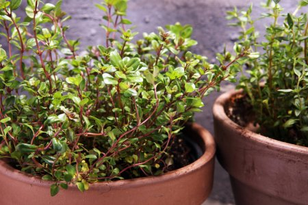 Photo for Homegrown and aromatic herb in old clay pot. Set of culinary herb. Green growing thyme - Royalty Free Image