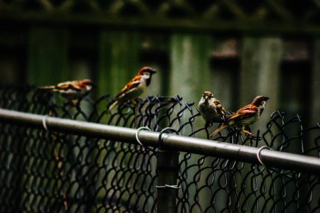 Sparrows in a row on wooden fence....