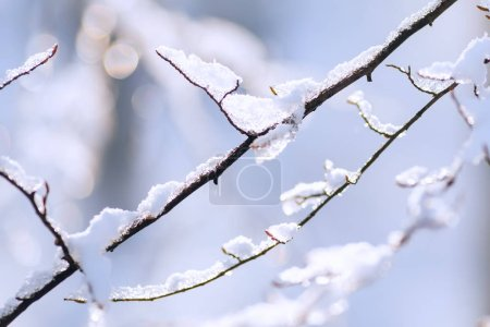 Photo for A close-up of thin branches of a tree covered with snow on a blurry background - Royalty Free Image
