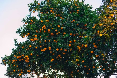 Photo for Orange tree with fruits and green leaves. sky. - Royalty Free Image