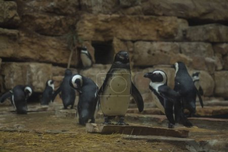 Photo for Beautiful penguins walking on rocky surface in reserve - Royalty Free Image