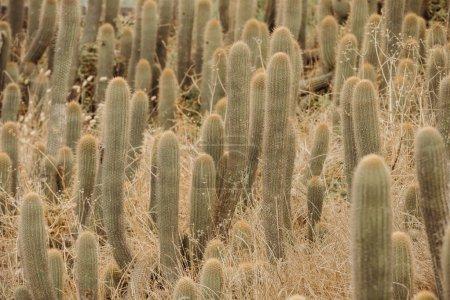 Cactus near the beach in a dry environment