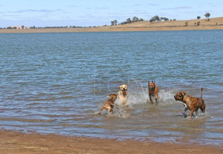large friendly dogs romping off leash in water