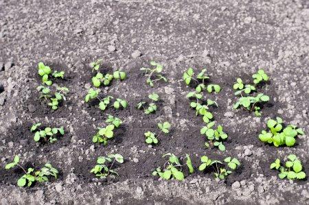 Photo pour Fraîchement plantés dans les buissons de fraises en pleine terre dans le jardin. Contexte. La photo a été prise sur un objectif souple. De l'art flou. Faible profondeur de champ dans le champ proche . - image libre de droit