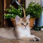 Kitten cat scottish straight, lop-eared fluffy, an...