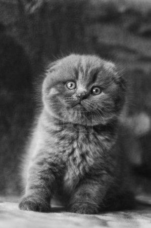 Kitten cat Scottish straight, loose fluffy, animal...