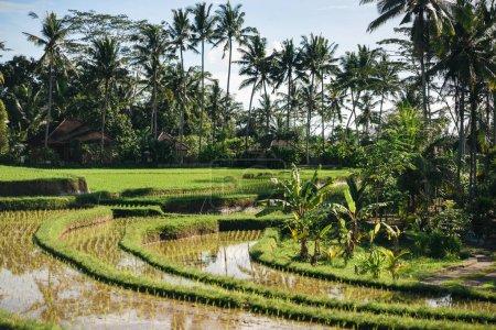 Foto de Scenic view of Tegallalang Rice Terraces, palm trees and cloudy sky background, ubud, bali, indonesia - Imagen libre de derechos