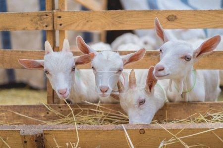 Foto de Lindos cabras comer heno a través de vallas en la granja - Imagen libre de derechos