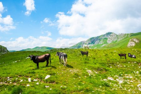 cows grazing on green valley near mountains in Durmitor massif, Montenegro