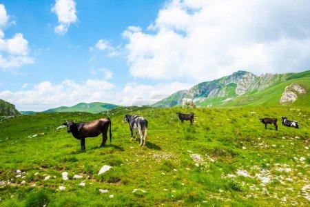 Photo pour Vaches broutant sur une vallée verdoyante près des montagnes dans le massif de Durmitor, Monténégro - image libre de droit