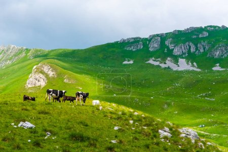 cows grazing on green valley with sunlight in Durmitor massif, Montenegro